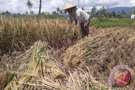 Petani Di Rejang Lebong Kebanyakan Sebagai Penggarap