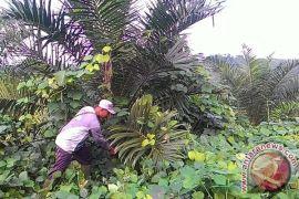 Petani ganti tanaman karet dengan sawit