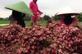 Distan latih petani Mukomuko budi daya bawang