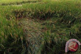Distan bantu petani fungisida pengendali penyakit blas