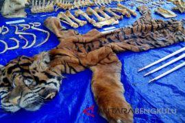 BKSDA Bengkulu musnahkan kulit Harimau Sumatera (video)