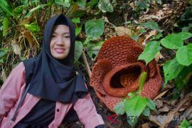 Rafflesia Bengkuluensis dan Gadutensis mekar di bengkulu