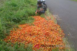 Petani keluhkan anjloknya harga jual tomat