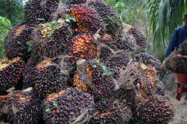 Tim perumus tetapkan harga sawit di Bengkulu turun Rp55/kilogram