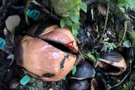 KLHK usut perusakan bunga Rafflesia
