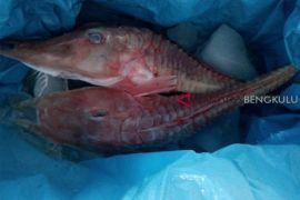 Hasil penelitian, DKP rekomendasikan ikan langka untuk dikonsumsi