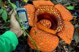 Rafflesia Kemumu mekar lagi di Bengkulu Utara