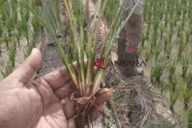 Distan Mukomuko bantu atasi hama perusak padi