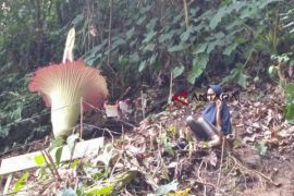 Bunga raksasa mekar di Bengkulu Selatan
