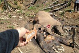Tim forensik selidiki kematian gajah di Bengkulu