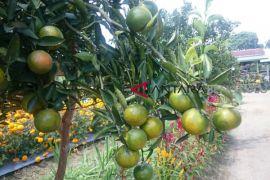 Petani sayuran beralih tanam buah-buahan