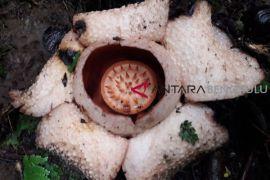 Rafflesia berwarna putih mekar di hutan Seluma