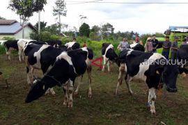 BI bantu peternak sapi perah Rejang Lebong