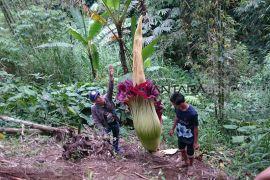 Bunga bangkai mekar di lahan pertanian warga