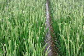 Distan targetkan penyaluran dana mina padi September