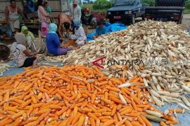 Distan Bengkulu Selatan kembangkan jagung hybrida