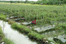 Belasan ribu tanaman cabai petani Mukomuko terendam banjir