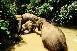 Dukungan internasional mengalir untuk Gajah Sumatra
