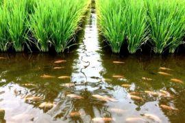 Poktan Mukomuko jadi contoh pengembangan mina padi