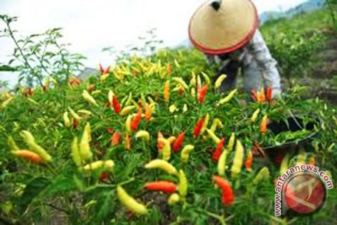 Harga cabai rawit di Rejang Lebong Rp50.000/kg