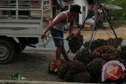 Petani Bengkulu jual sawit Rp1.150/Kilogram