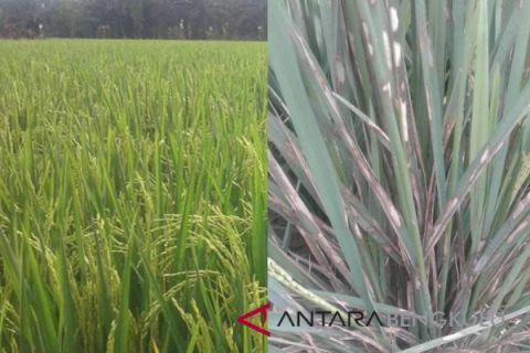Distan cek tanaman padi diserang hama wereng