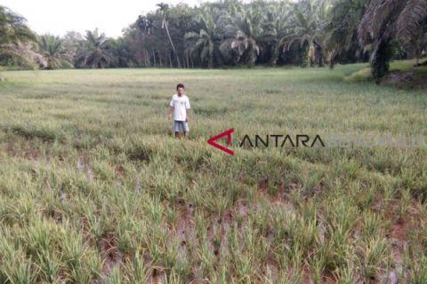 Distan Mukomuko kembali temukan padi terserang hama