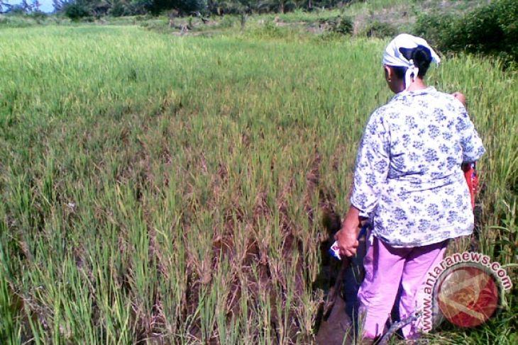33 Ha tanaman padi Mukomuko diserang tikus