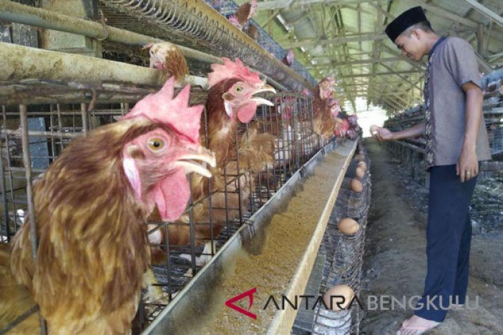 Mahalnya pakan ayam buat harga telur naik