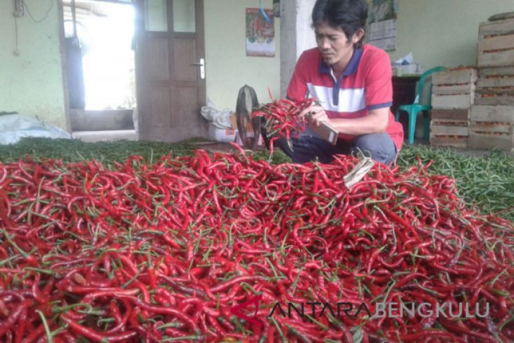Harga cabai merah di Mukomuko turun