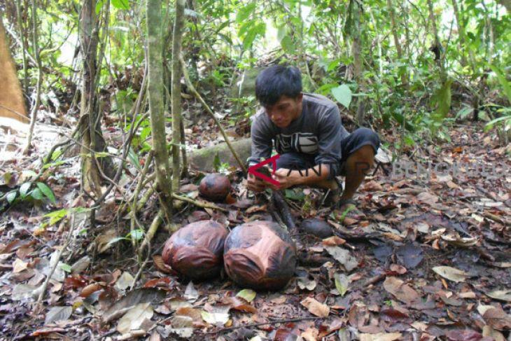 13 knop bunga Rafflesia arnoldii di Bengkulu