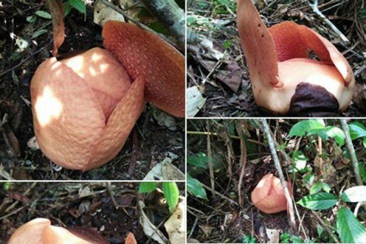 Dua jenis Rafflesia mekar di hutan Bengkulu