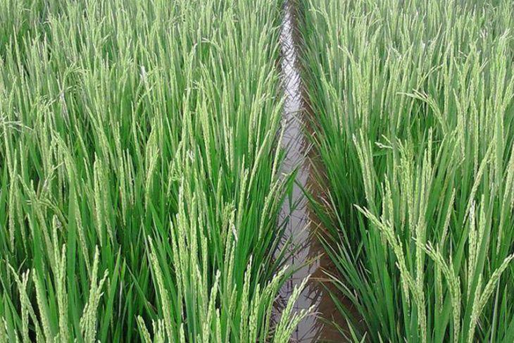 Distan siapkan lahan uji coba mina padi
