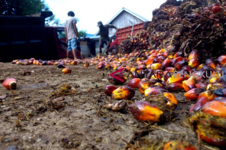 Produksi sawit petani Mukomuko turun 50 persen