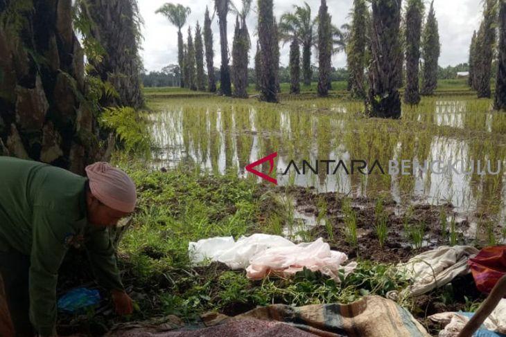 73,26 hektare perkebunan sawit Mukomuko dicetak jadi sawah