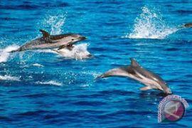 Lumba-lumba di Darwin Australia berkurang separuh, Apa sebab?