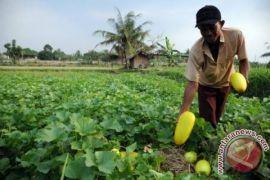 Omzet petani timun suri Bekasi naik