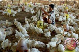 Ini upaya pemerintah menjaga stabilitas harga ayam