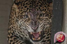 Waduh, macan tutul masuk ke permukiman warga di sukabumi
