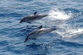 Lumba-lumba Terdampar Di Pantai Kenjeran Jatim
