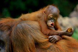 2.000 Orangutan Terselamatkan Selama 25 Tahun