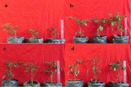 Mahasiswa IPB Teliti Manfaatakan Sampah Organik Dan Larva Lalat Tentara Hitam untuk Suburkan Cabai