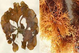 Mahasiswa IPB Kreasikan Rumput Laut sebagai Krim Tabir Surya