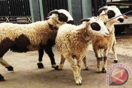 IPB Teliti Kualitas Spermatozoa Domba yang Disimpan pada Suhu Rendah