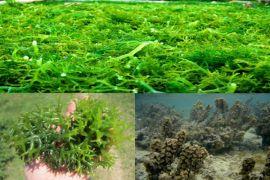 Peneliti IPB Teliti Krim Tabir Surya dari Rumput Laut
