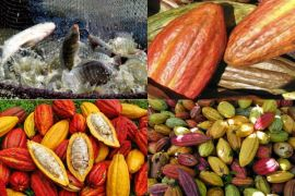 Tingkatkan Kualitas Pakan Ikan Nila Dengan Kulit Kakao