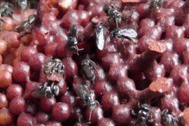 Peneliti IPB ungkap Peranan lebah Trigona laeviceps dalam produksi biji kailan