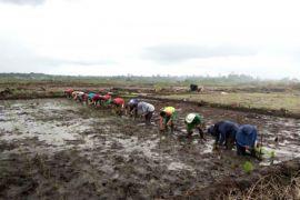 STPP Bogor uji kecocokan teknologi penanaman padi