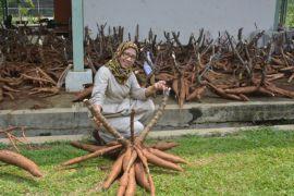 Kiprah peneliti ubi kayu dari IPB
