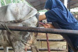 STPP Bogor bantu peternak sapi Lampung Selatan
